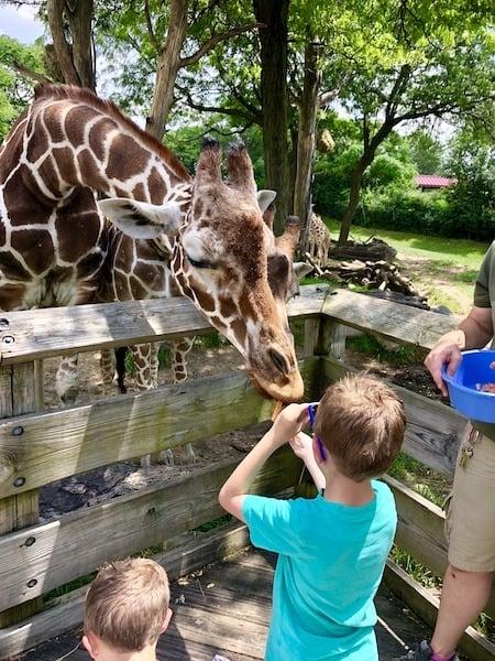 indianapolis zoo giraffes