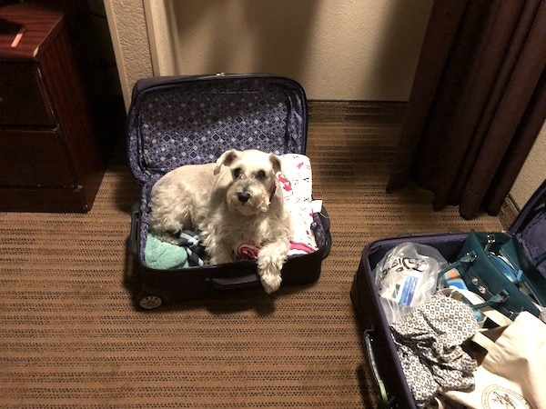 small dog laying in open suitcase evacuating
